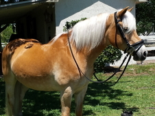 Flashy Haflinger Mare