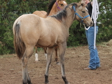 2016 AQHA Dunskin Filly
