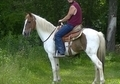 Well Broke Sorrel QH Trail Gelding