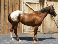 Eye catching, registered, child's pony price reduced