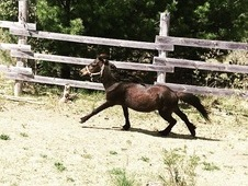 Miniature horse stallion for sale or trade