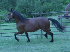 Registered Friesian Heritage \ Sport Horse (DNA tested) Price red...