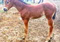 Barrel Colt bred to Run!