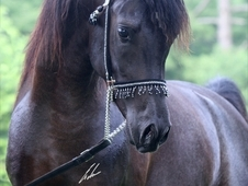 At stud black supreme halter champion; semen available for export...