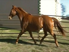 Nice Dutch warmblood mare