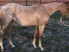 Beautiful 2015 Red Roan Filly Hancock/Wilywood