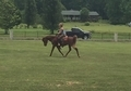 Very Flashy Chestnut Arabian Gelding- Priced to Sell