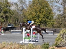 Beautiful 16. 3hh WB/TB cross Jumper Mare