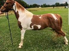 (Alexandria) - Well Broke, Trail Safe, Flashy Sorrel/White Spotted Saddle Mare