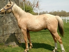 3yr old Golden palomino gelding