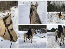 Beautiful Dunskin trail gelding