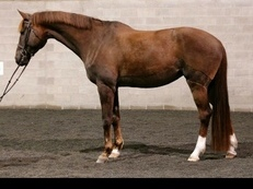 Beautiful dressage mare