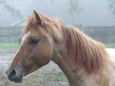 APHA REGISTERED RED ROAN COLT