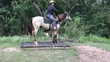 Super cute buckskin gelding  for sale