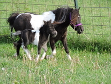 Adorable Tiny Black Pinto Filly - Therapy Training Included
