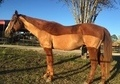 Hunter/ Jumper or Dressage! Thoroughbred Gelding for Sale!