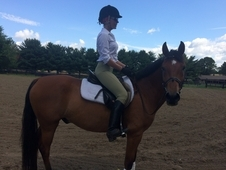 Beautiful Registered Holsteiner Gelding 15. 2 hh