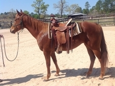 Beautiful Little Quarterhorse Mare