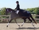 Warmblood for sale in Canada