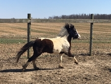 "48"" Paint Gelding for sale"