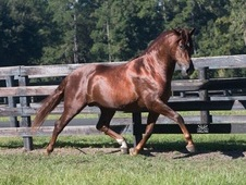 3-D Coppery Chestnut Andalusian Stallion at Stud