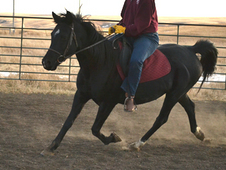Black Arabian AHA Mare 16-yr-old