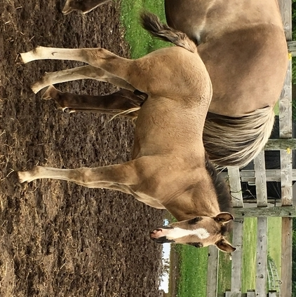 Beautiful Grullo Rocky mountain colt