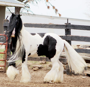 Gypsy Stallion Available At Stud - Homzygous Tobiano & Black