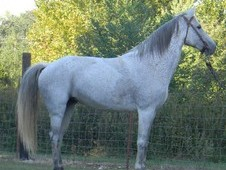 Beautiful Grey TWH Mare