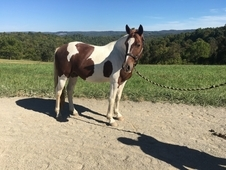 Nice paint trail gelding