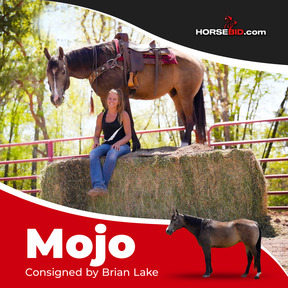 HIGHLIGHT!!! MoJo, AQHA registered buckskin gelding , STUNNING!! MoJo is a rare horse, super safe, easy to ride, loving personality, what a horse!!