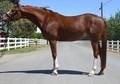 FEI Dressage/Eventing/Hunter Prospect