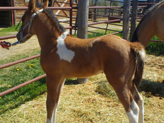 BARREL RACING APHA TOBIANO FILLY