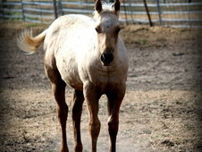 All around Palomino stallion prospect