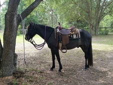 Super personality & easy going trail Gelding