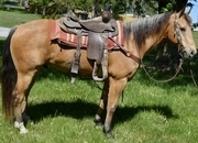 Great colored, well bred, well broke gelding
