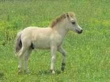 Buckskin colt for sale