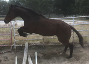 Calm and fun eventing, jumping or dressage prospect!