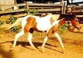Bay Tobiano 99.8% Arabian filly