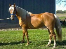Gorgeous golden palomino mare