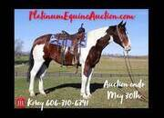 Place your bids at www.PlatinumEquineAuction.com ranch horse deluxe, big stout with lots of handle, ready to hit the trails or work on the ranch!