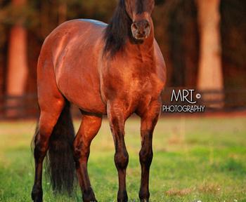 Paso Fino for sale | HorseClicks
