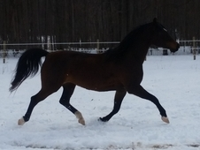 10yr Beautiful Arab Saddlebred Mare