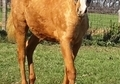LOOK AT THE PEDIGREE!! 2015 PALOMINO FILLY