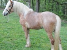 Beautiful All Rounder Haflinger - Ridden English, Western, and Dr...