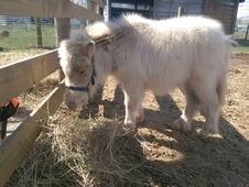 Must Sell: Palomino Mini Gelding