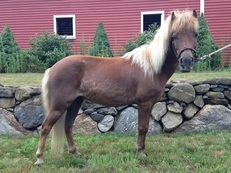 2006 Liver Chestnut Mini Mare