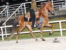 Racking Show/Trail Mare