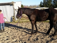 Stunning black Percheron, rides and drives!