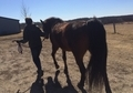 Missouri Fox Trotter Bay Gelding For Sale - Excellent Trail Horse...